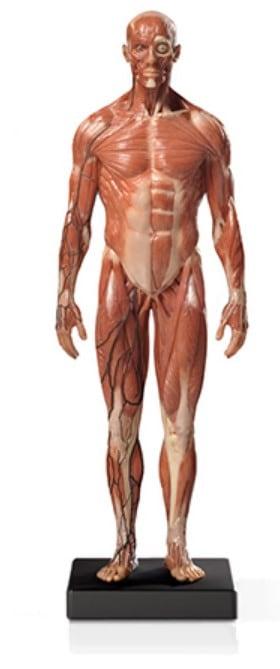 proko_anatomy_model